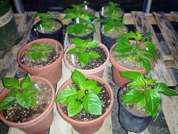 выращивание острого перца в теплице