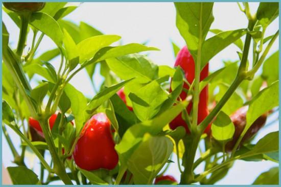 как правильно выращивать острый перец