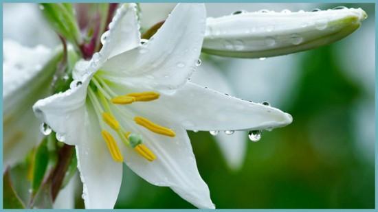Как поливать лилию в открытом грунте