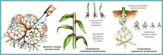 как размножить лилию садовую