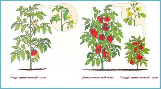 какие бывают кусты томата