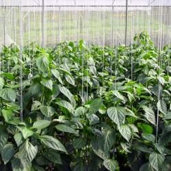 выращивание сладкого перца из семян