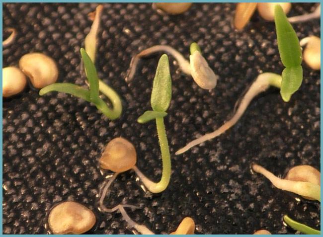 Как проращивать семена перца