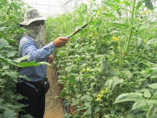 почему не завязываются помидоры в теплице
