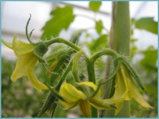 когда зацветают помидоры в теплице