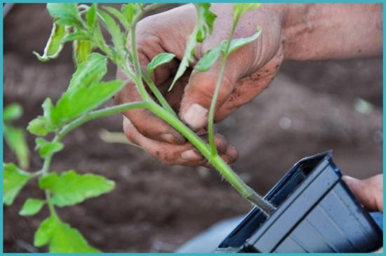 посадка рассады помидоров