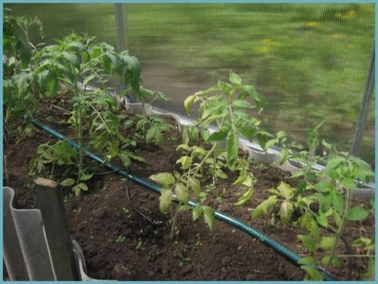 способы полива помидоров в теплице