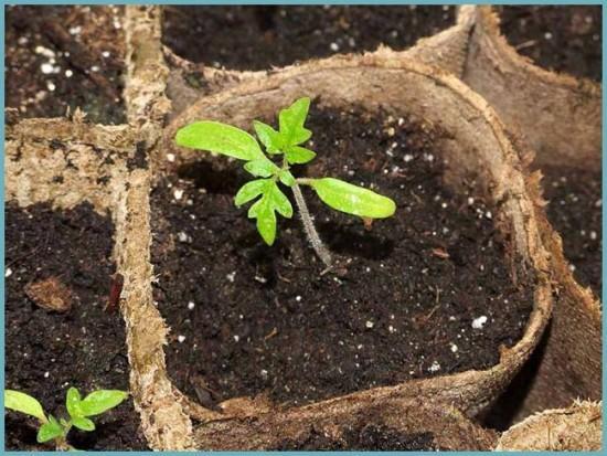 как высаживать семена помидоров