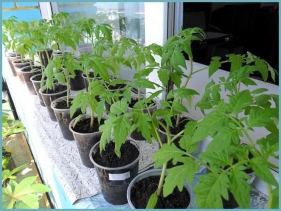 как высаживать томаты в теплице