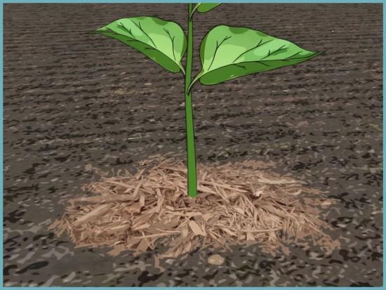 мульчирование почвы при выращивании болгарского перца