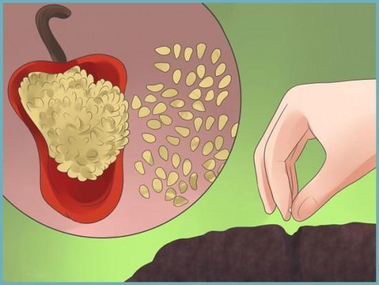 как собирать семена сладкого преца