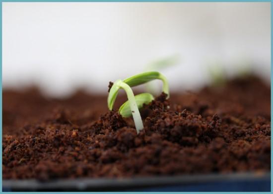 как проращивать огурцы