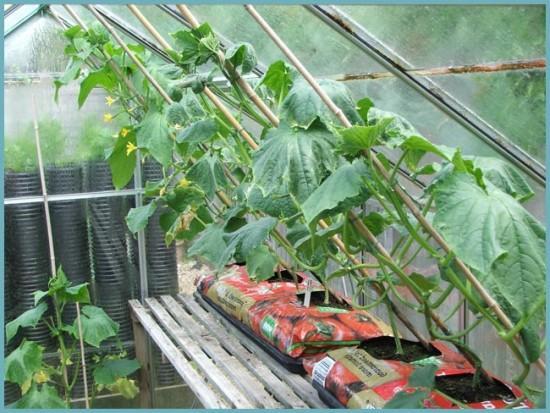 микроклимат в теплице для выращивания огурцов