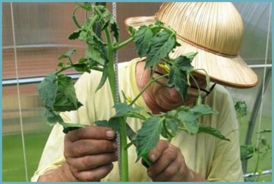 пасынкование кустов помидоров