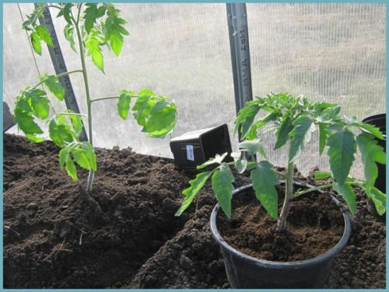 как высаживать томаты в теплицу