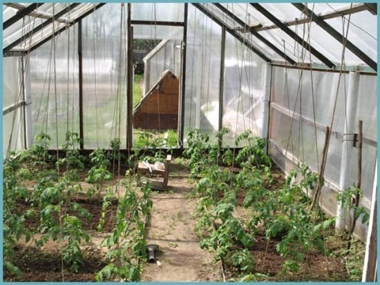 вентиляция в теплице с томатами