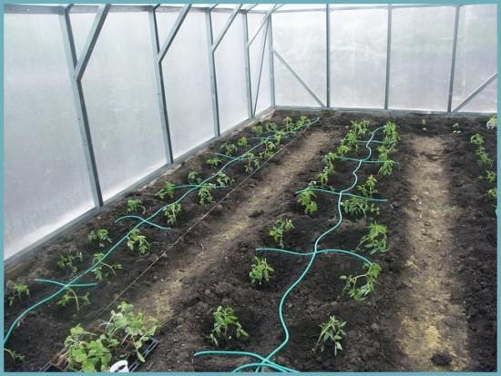 капельный полив помидоров в теплице