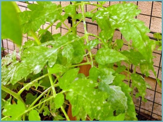 болезни кустов помидоров
