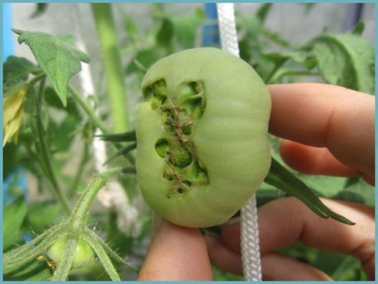 причина растрескивания плодов томатов