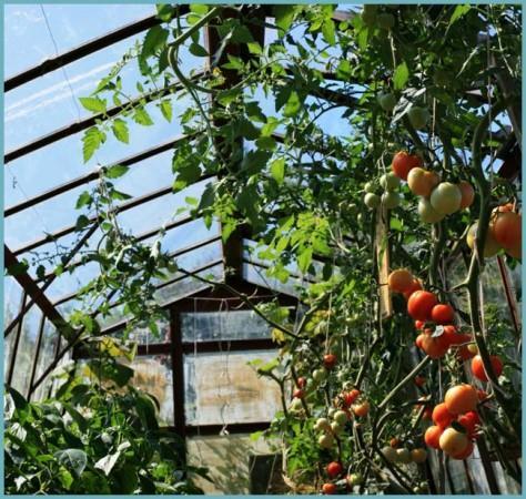 как высадить помидоры в теплице