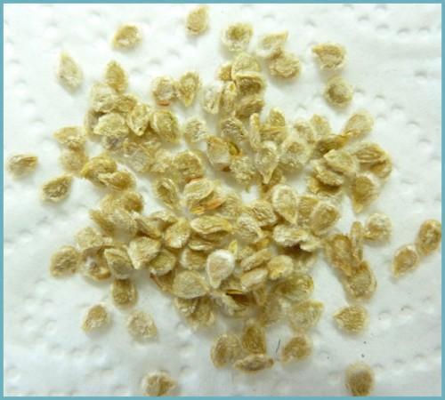 как проверить семена огурца на качество