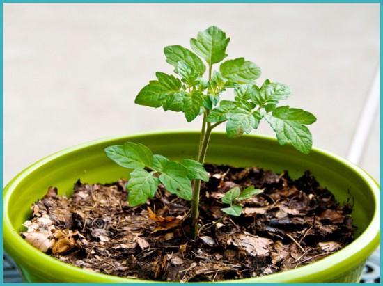 выращивание рассады томата на подоконнике
