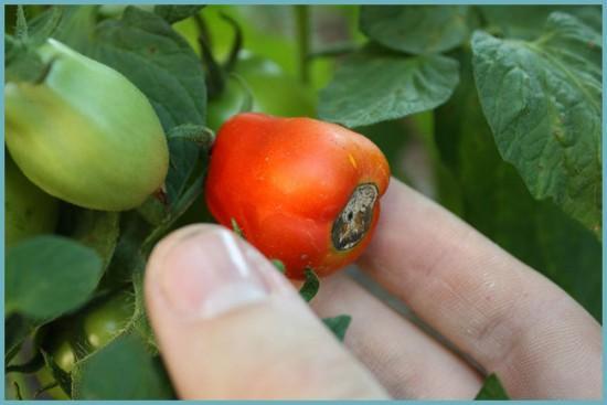 вершинная гниль у томатов