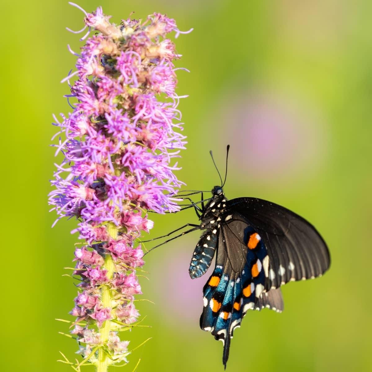 Лиатрис колосковый и бабочка