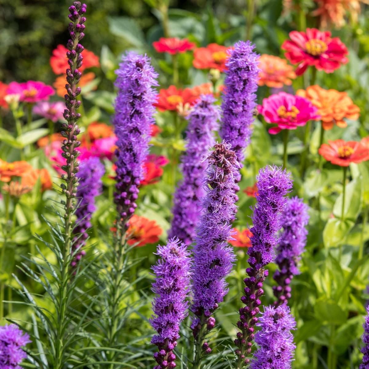 Лиатрис колосковый фото цветка в клумбе