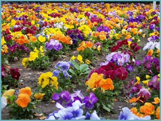 какого цветы бывают анютины глазки