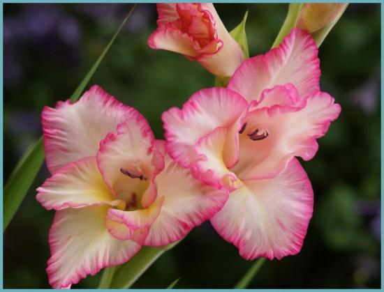 разновидности гладиолусов по цвету
