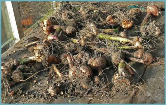 как рассадить гладиолусы