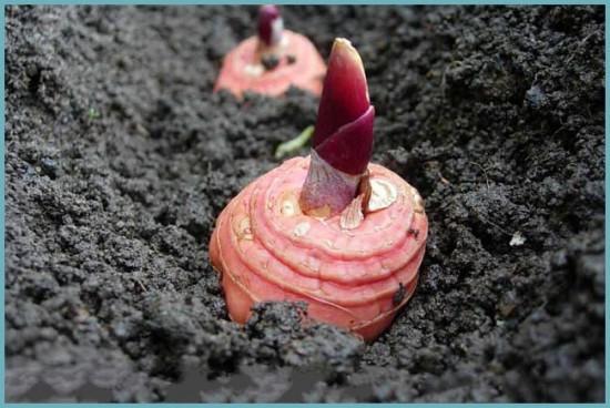 как посадить гладиолусы правильно