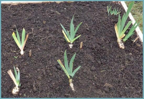 как правильно посадить ирисы