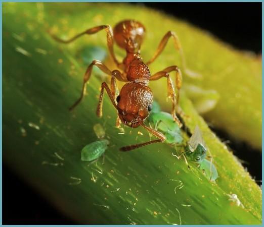 насекомые вредители ирисов