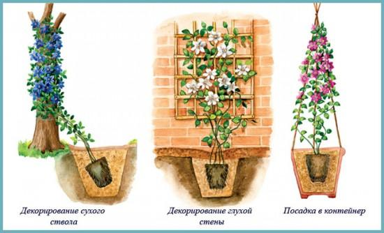 как правильно посадить клематисы