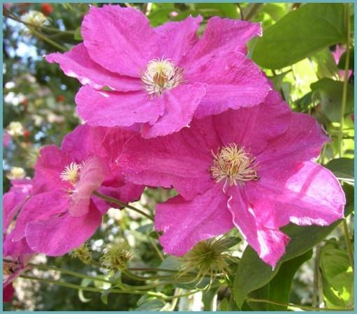 клематис с крупными цветками