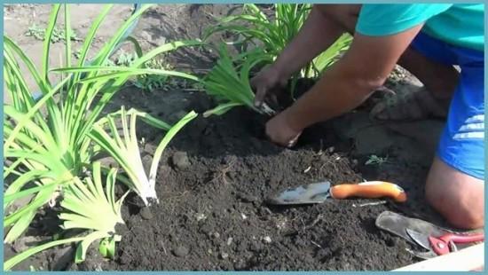 как рассадить лилейник