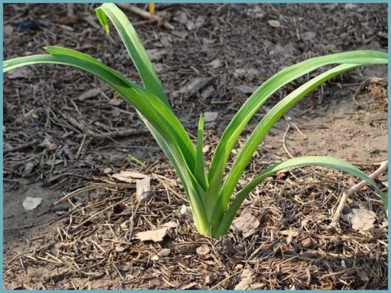 как посадить лилейник