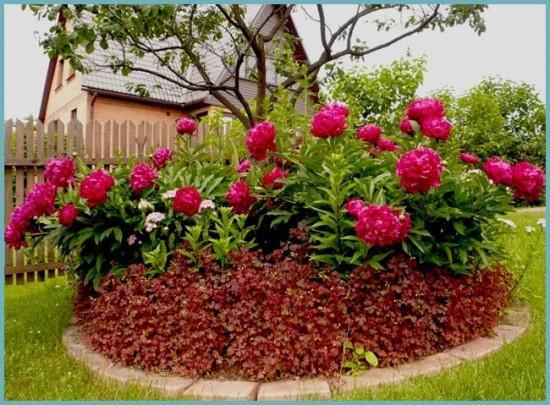 как выращивать пионы