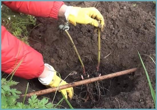 как посадить пионы правильно