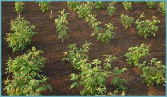 схема посадки малины квадратами