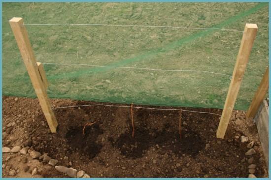 как посадить саженцы малины ремонтантной