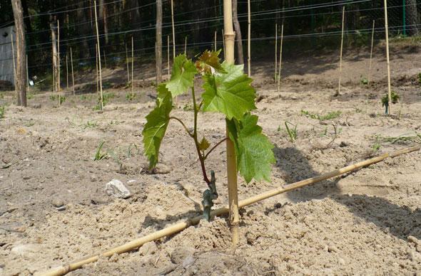 посадка винограда осеенью