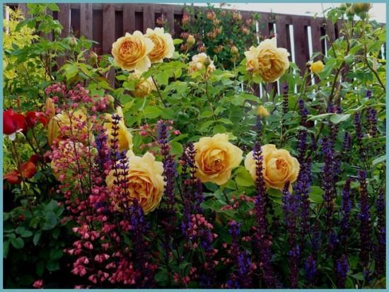 роза на клумбе