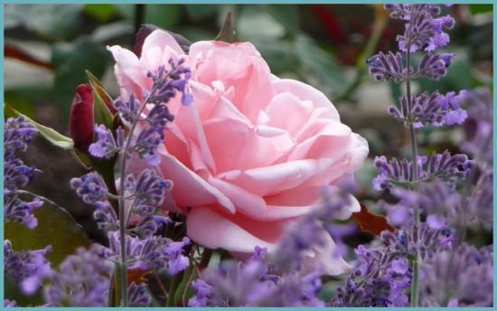 роза с другими растениями
