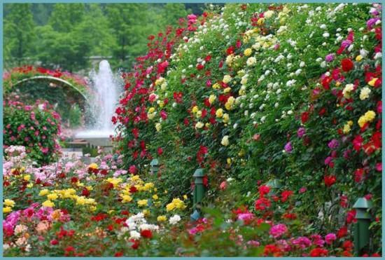 с чем посадить розу