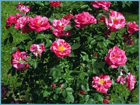 сорта розы