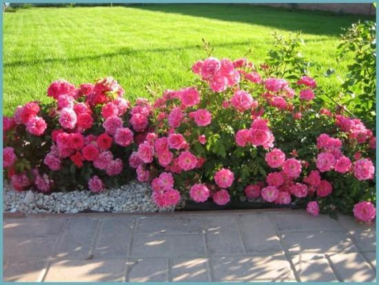 разновидности розы