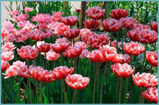 махровые тюльпаны виды